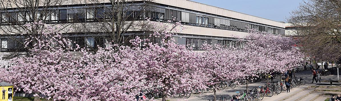 Oeconomicum mit rosa blühenden Kirschbäumen