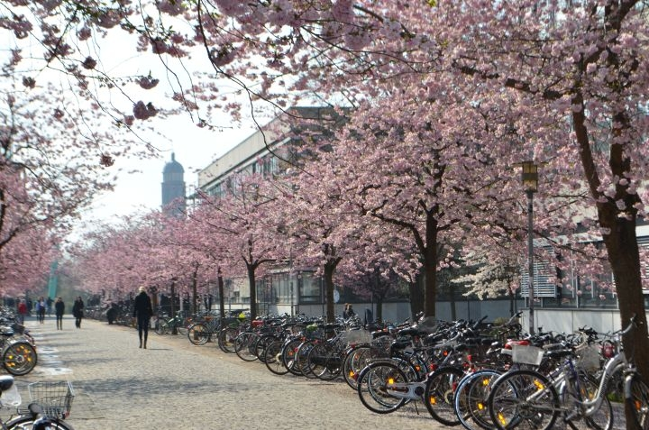 Cherry Blossom Bicycle