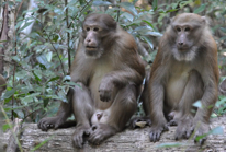 Assamees macaques Behavioral Ecology