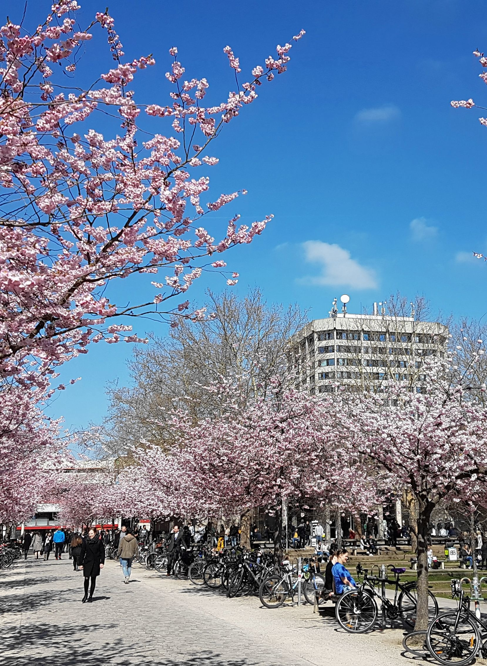 Cherry Blossoms and Blauer Turm 2019